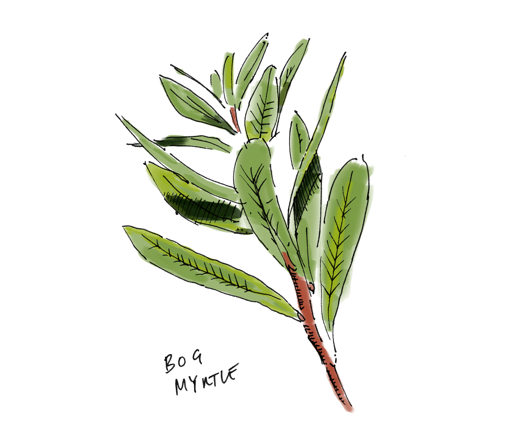 Lussa Gin Bog Myrtle Illustration