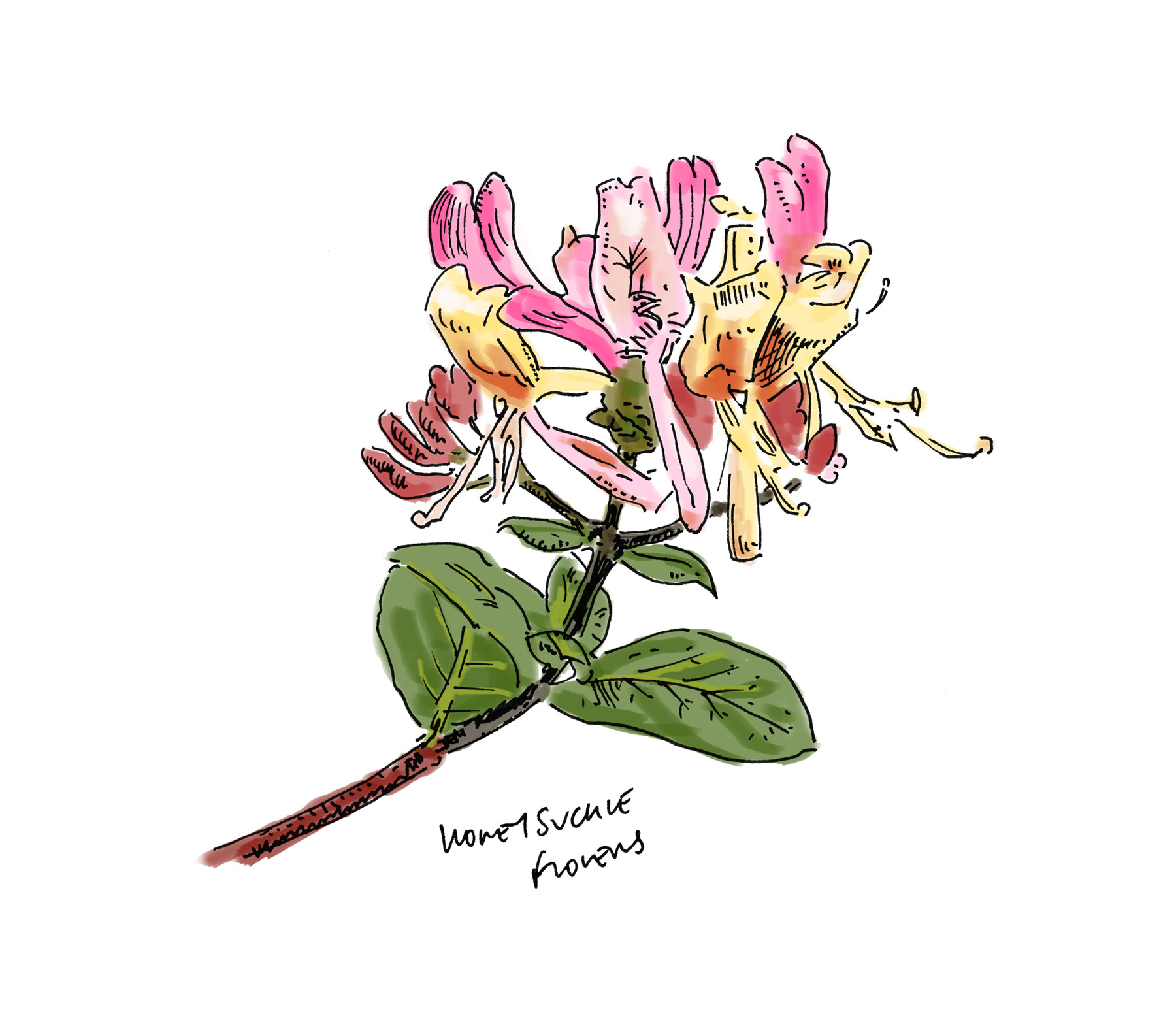 Lussa Gin Honeysuckle Flower Illustration