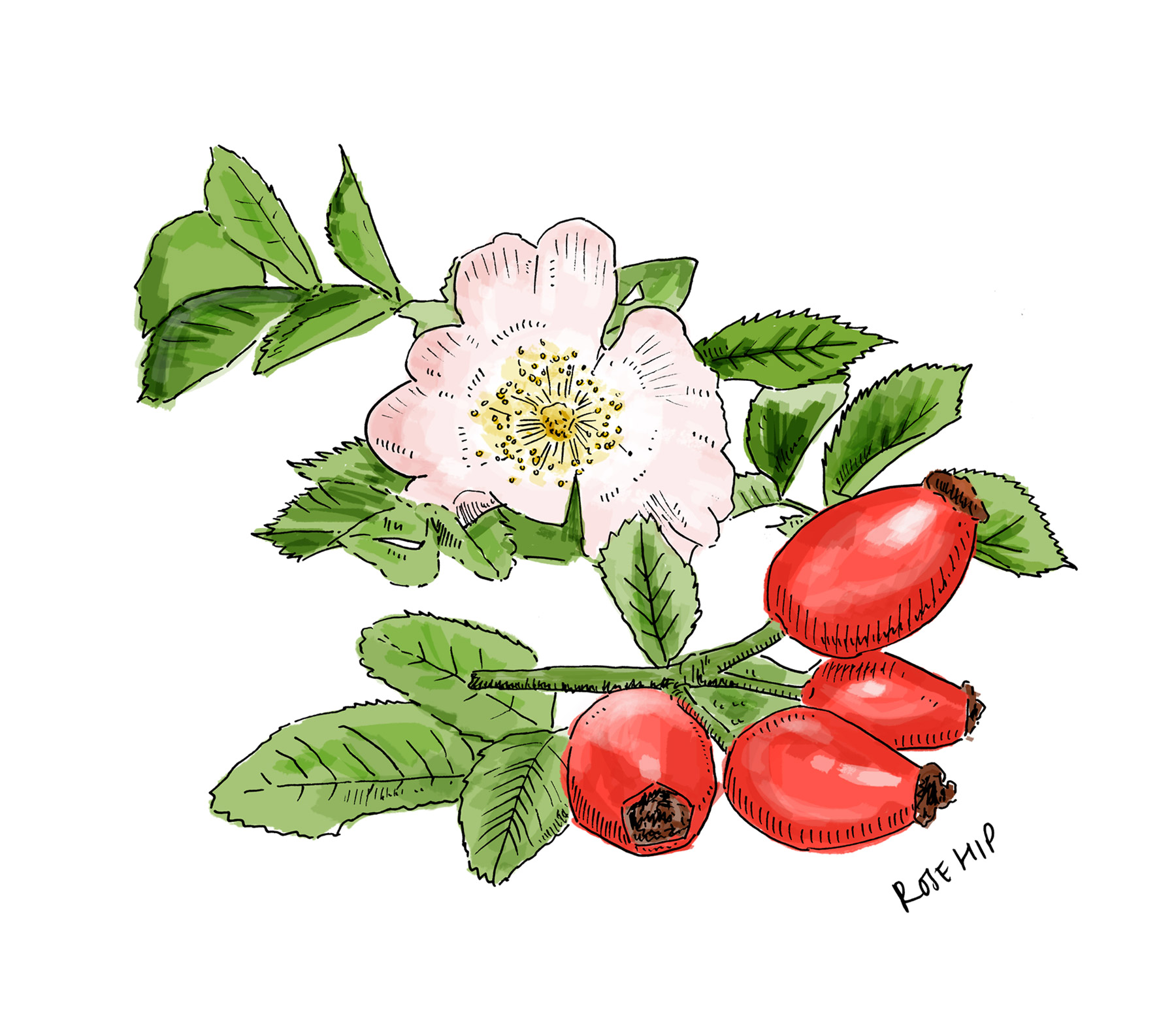 Lussa Gin Rosehip Illustration