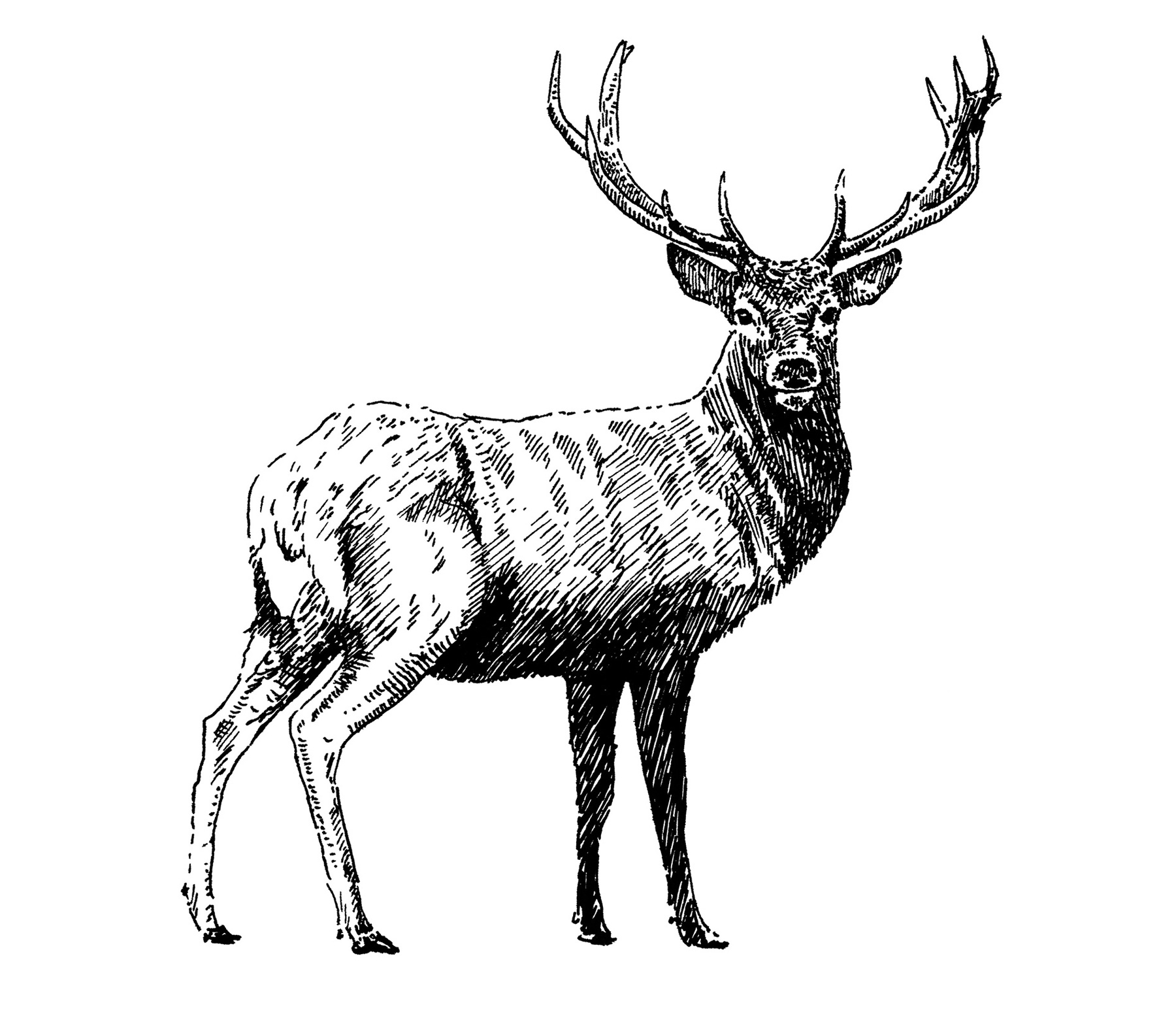 Lussa Gin Stag Illustration