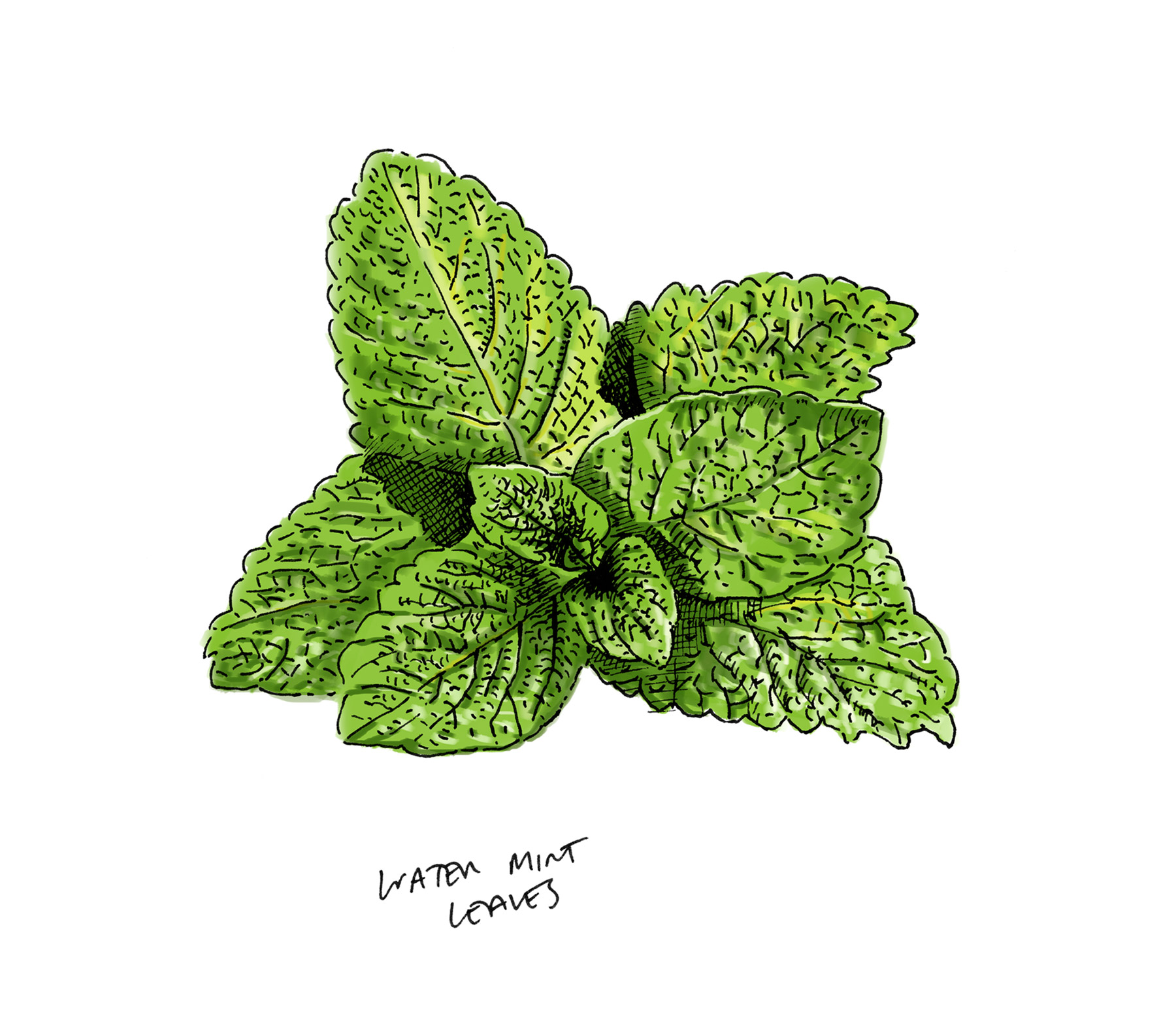 Lussa Gin Water Mint Leaves Illustration